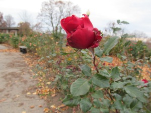 A red rose on Veteran's Day still hanging in.